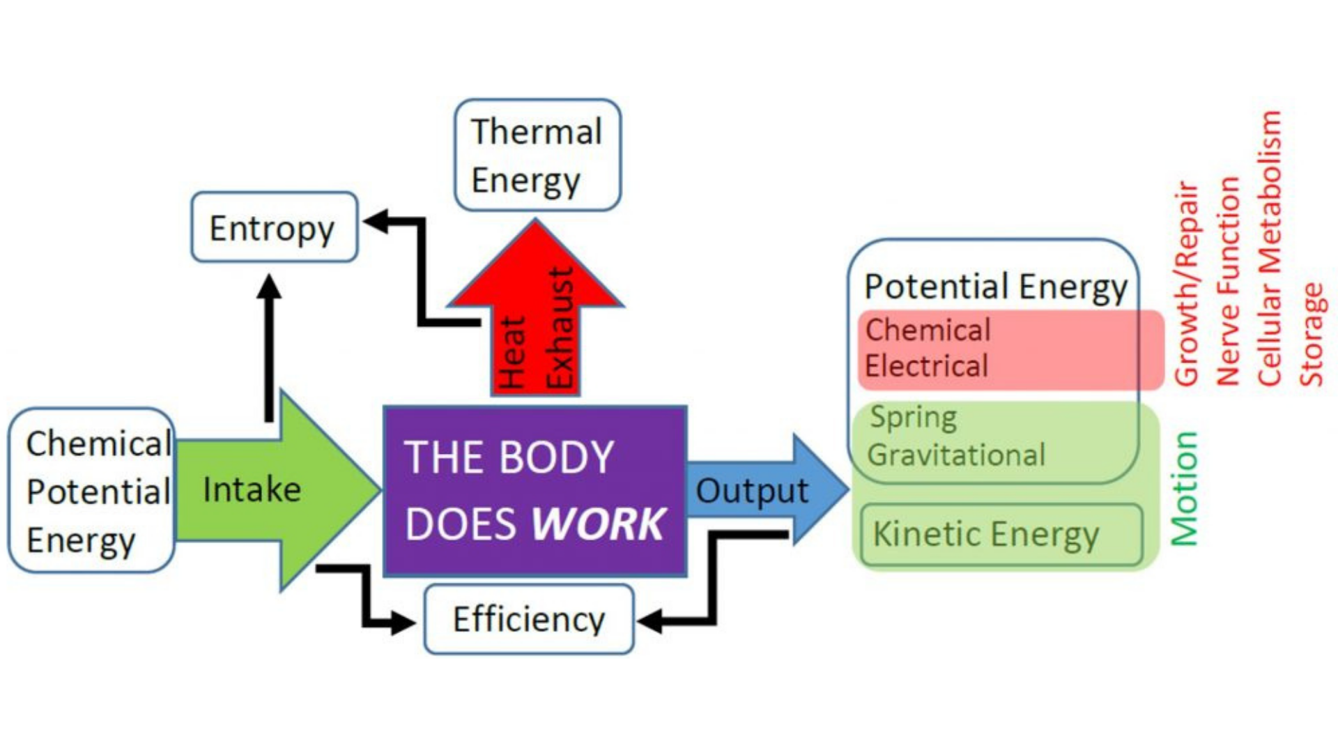 First Law of Thermodynamics Human Physiology