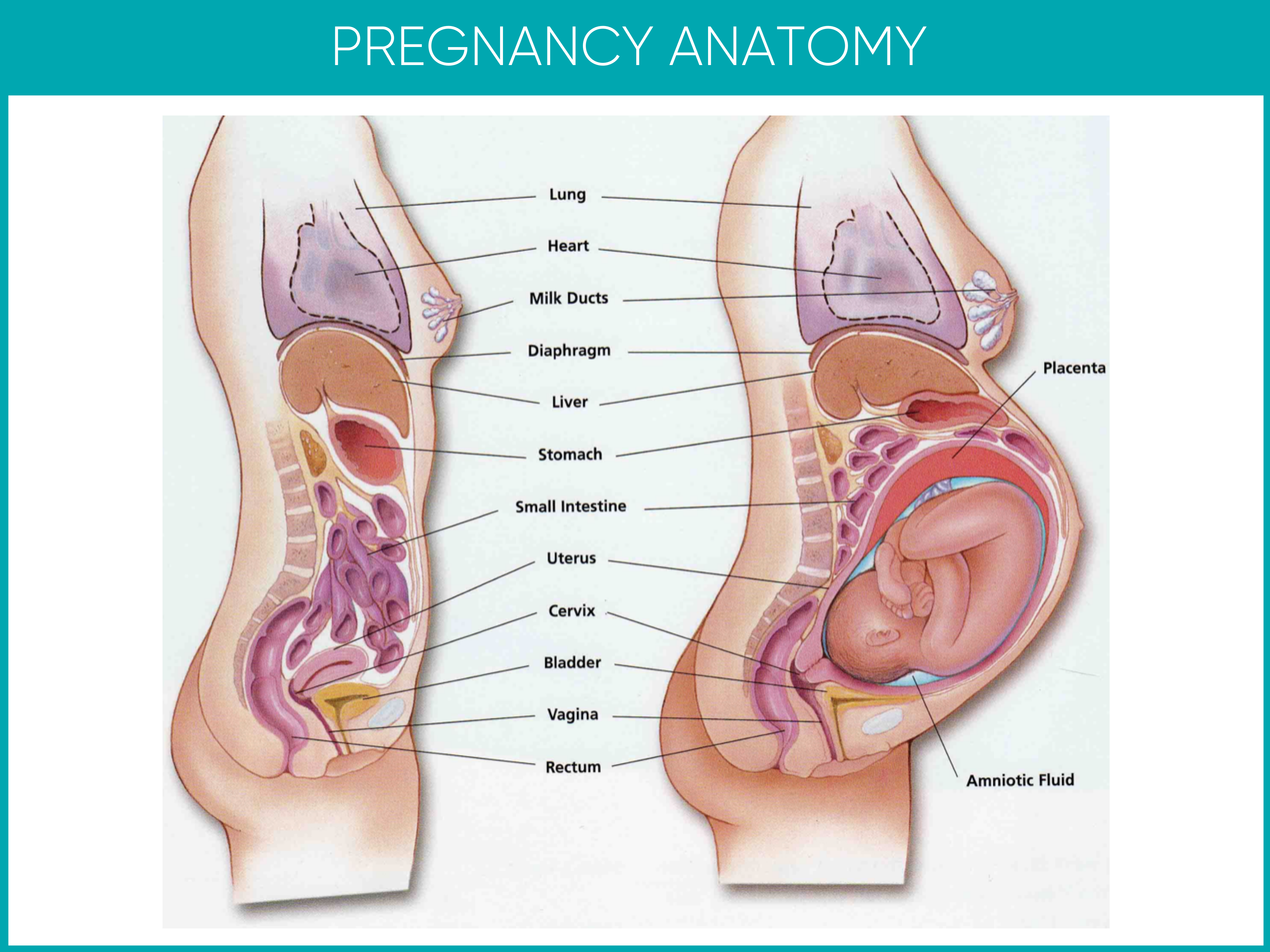 Pregnancy Anatomy